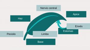 Sintomatología de deficiencias de nutrientes en las plantas