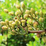 Rentabilidad del cultivo de pistacho