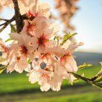 Establecimiento y desarrollo de cultivos de almendro
