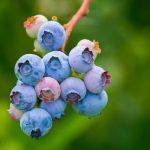 Establecimiento de cultivos de arándano