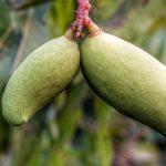 Establecimiento y desarrollo de cultivos de arándano