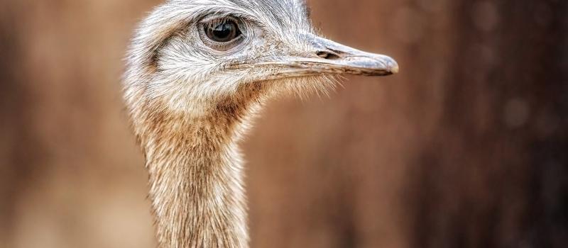 Ganadería emú